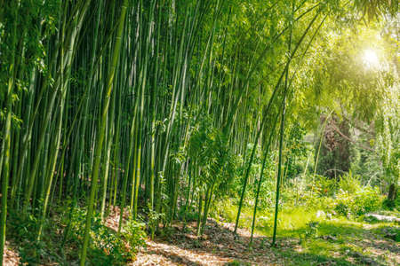 Bamboo forest and thickets with the bright light of the sun, green eco texture Stock Photo