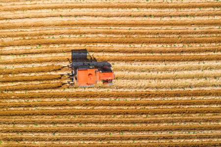Spudding soil around agricultural vegetable plants using a tractor and agricultural machinery, aerial top view Stock Photo