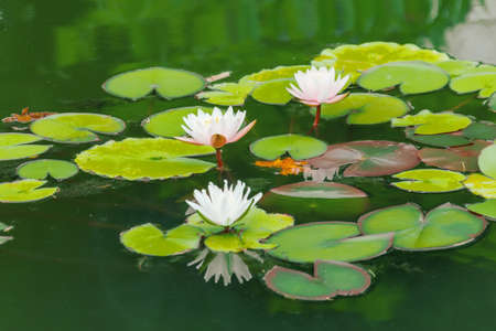 Lotus blooms in a pond in a wild forest