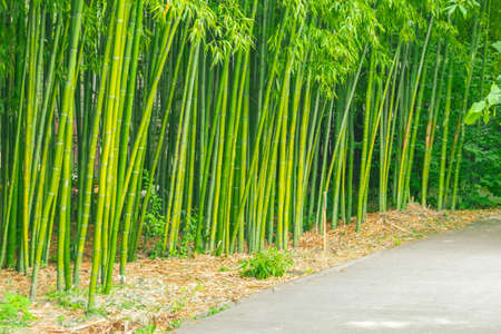 Bamboo thickets along the walking trail in the park