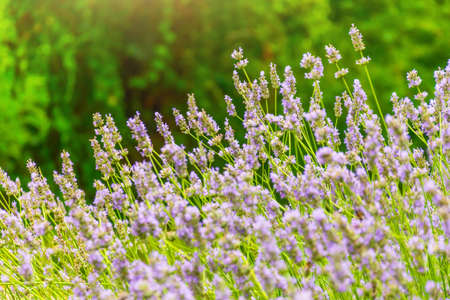 Lavender flowers for aroma oil on the mountains Alps, at summer sunny day, close up macro