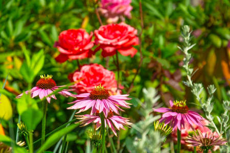 Echinacea flowers in the background of a rose in a country flower garden