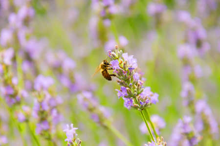 Lavender flowers for aroma oil on the mountains Alps, at summer sunny day, close up macro bee pollinates Stock Photo