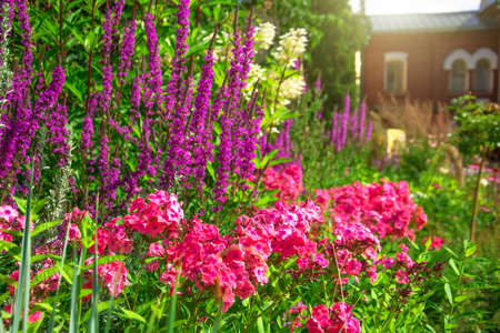 Pink red phlox in a flowerbed in a country garden