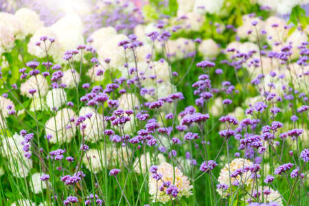 Verbena Bonariensis is a purple flower, hydrangea in the background