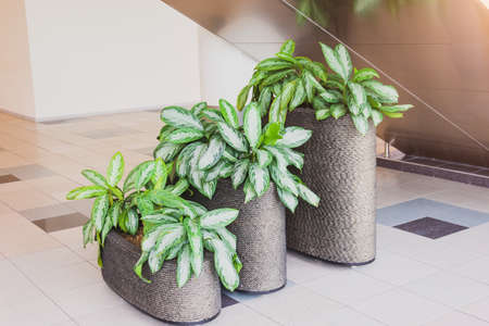 Aglaonema plants in the interior of a public building, three pots of different heights
