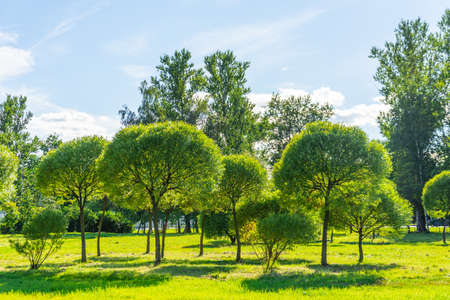 Group of small willow trees with a round crown in a summer city park Stock Photo