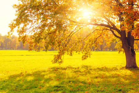 Sunlight shines through the autumn leaves of the crown of a majestic oak in the meadow Standard-Bild