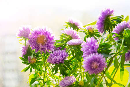 Blooming purple asters in pots on the balcony