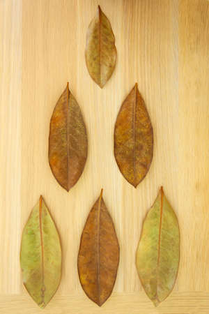 Dry leaves of subtropical magnolia tree on wooden board with wood texture, triangle-shaped, pyramid