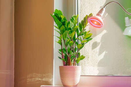 Decorative deciduous plant home flower Zamioculcas on the windowsill illuminated by phytolamp