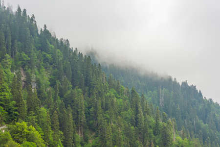 Mountain gorge with dense coniferous forest with low clouds