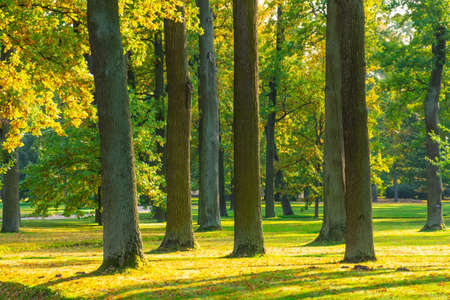 Several tree trunks in the park lit by the evening sun