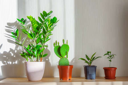 Indoor plants lit by the bright sun on a shelf in the room are lined up - Zamioculcas, prickly pear cactus, cordyline plant, citrus orange, lemon, tangerine