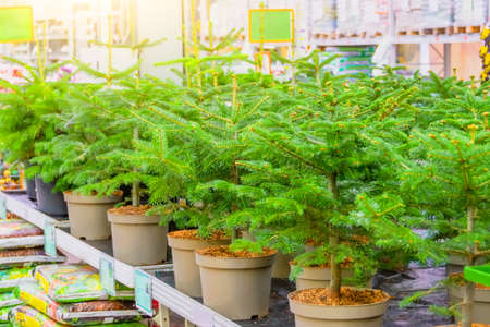 Fir tree in pots on sale on the eve of the holiday in the store's greenhouse