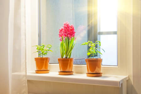 Three pink purple hyacinths and indoor decorative peppers on the windowsill in the apartment illuminated by the sunshine from the balcony