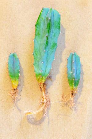 Small three plants cacti myrrhtlocatus with roots ready for transplant