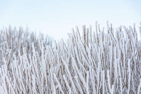 Many branches covered with ice and frost after heavy night fog, close-up view 版權商用圖片