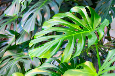 Dense thickets of monstera creepers growing on the wall Archivio Fotografico