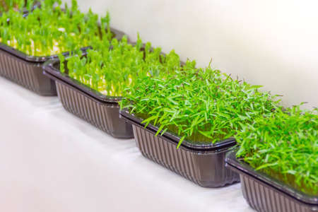 Microgreen. radish sprouts in plastic container on the counter of a supermarket, grocery store