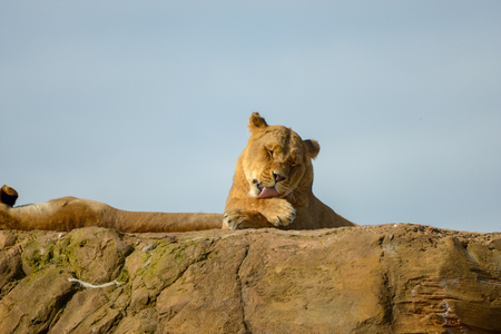 lioness laying on rock