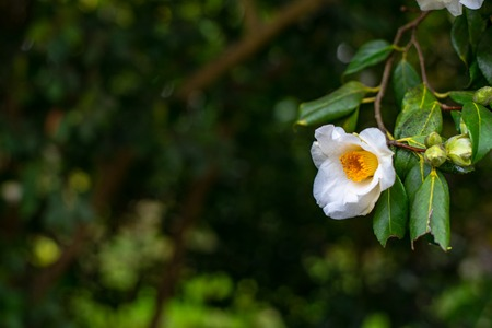 White camellia flower on the tree branch