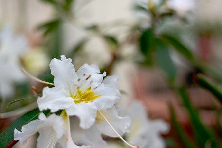 White Rosa sempervirens evergreen rose flower