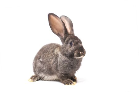 young rabbit isolate on white background