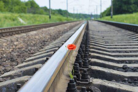 poppy flower grows on the railway