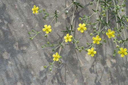 small yellow flowers on concrete background
