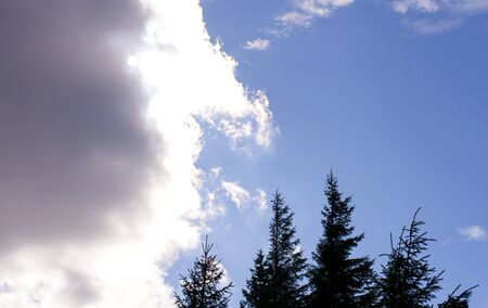 coniferous trees against the sky