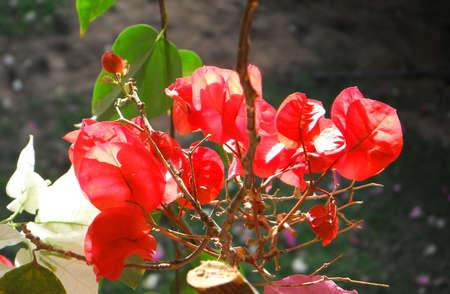 bougainvillea: Red bougainvillea