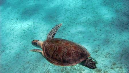 marsa: Turtle in Marsa Alam