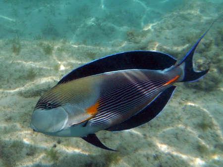 surgeon fish: Pescados del cirujano Foto de archivo
