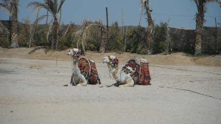dromedaries: Camels on the beach