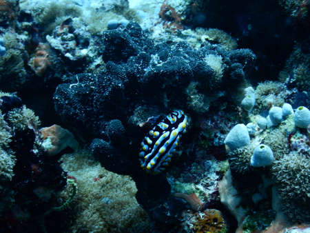 scubadiving: Nudibranch in the Maldives
