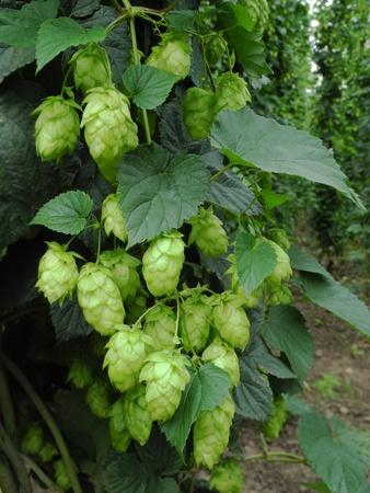 hop hops: hop-garden Stock Photo