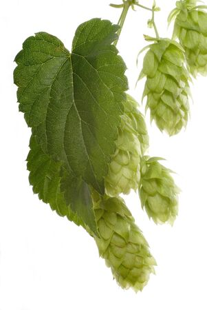 hop cones Stock Photo - 10481329