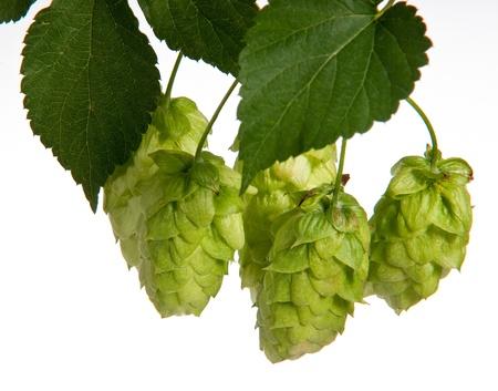 hop hops: hop cones