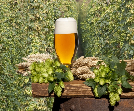hop plant: still life with beer Stock Photo