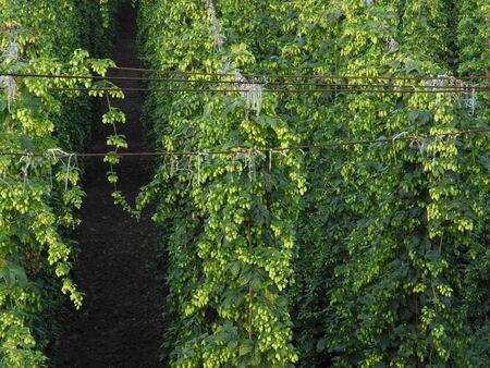 hop garden photo