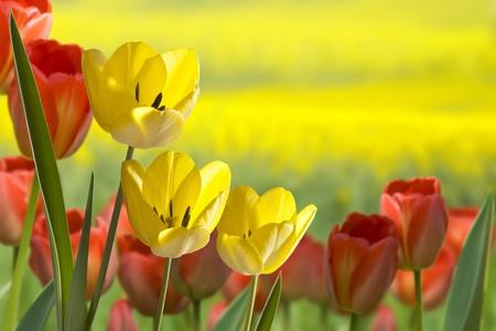 Tulpen Standard-Bild - 10600937