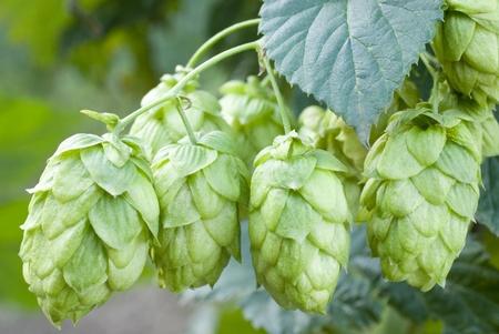 agronomy: hop cones