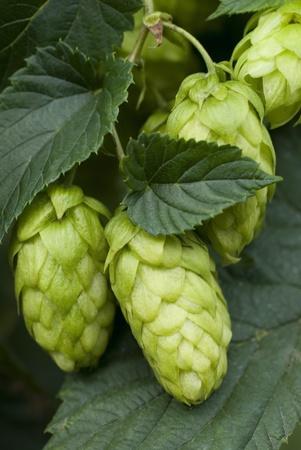 hop cones Stock Photo - 10816234