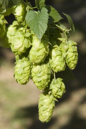humulus lupulus: hop cones