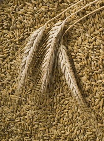 agronomy: barley Stock Photo
