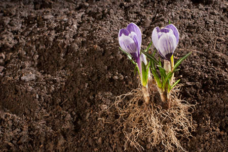crocus Stock Photo - 11721969