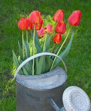 tulips Stock Photo - 13323480
