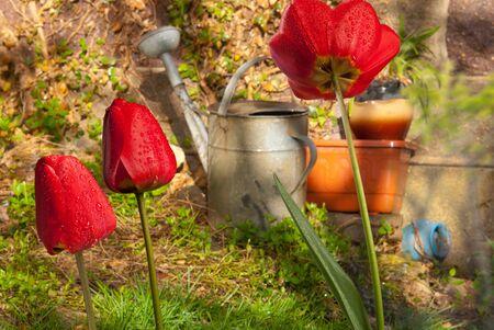 tulips in the garden Stock Photo - 13462259