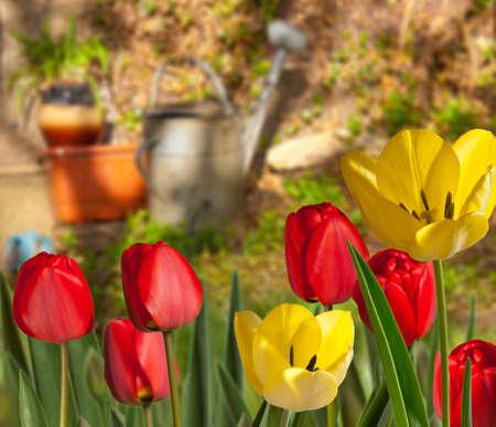 apri: tulips Stock Photo